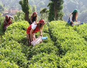 ÇAYKUR 5 . Günde 7 Bin 550 Ton Yaş Çay Aldı