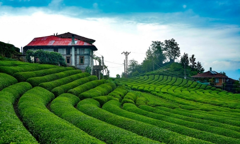 ÇAYKUR, İlk 3 Günlük Yaş Çay Alımında 9 Bin Tona Ulaştı