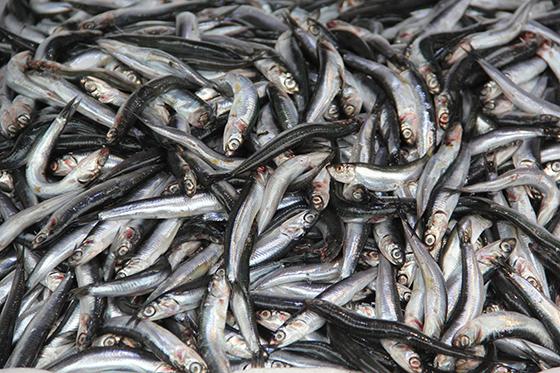 Doğu Karadenizli balıkçılar hamsiden umutlu değil