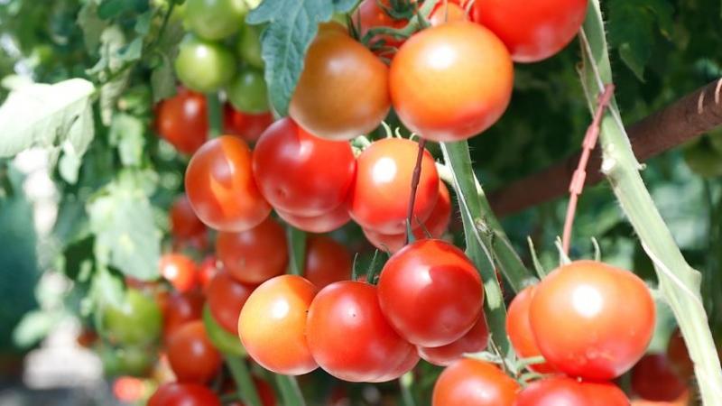 Rusya'ya domates ihracatı yeniden başladı