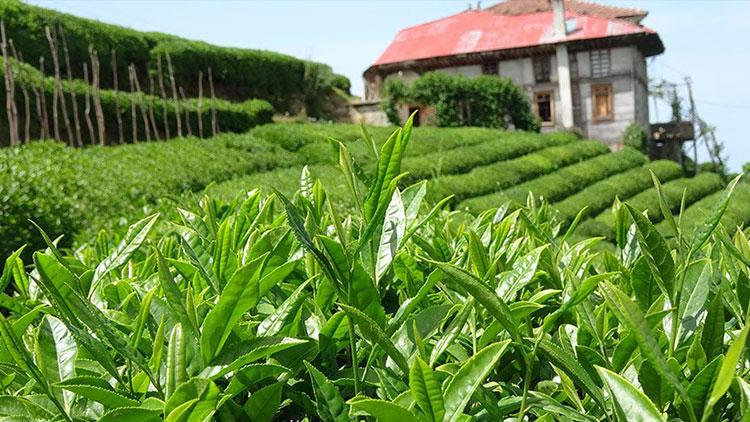 Temmuz ayı yaş çay bedelleri Kurban Bayramı öncesi ödenecek