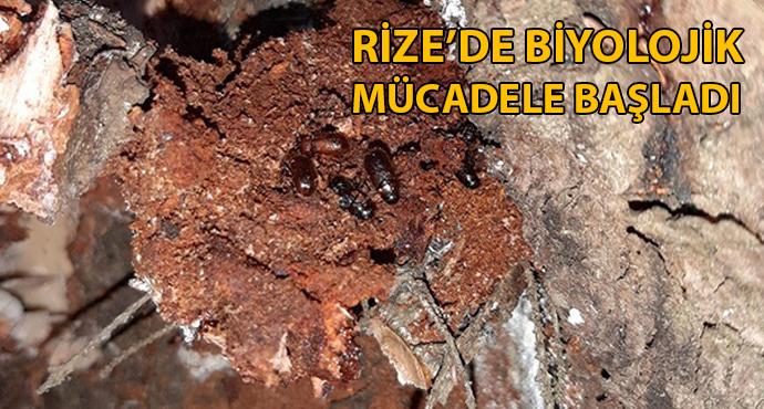 Terminatör böcekler  Rize'de Ladin ormanlarına bırakıldı