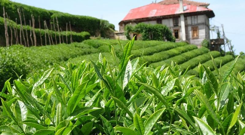 Yaş Çay Taban Fiyat Beklentisi Açıklandı