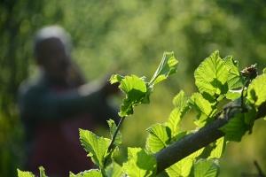 Fındık üreticileri yeni sezona hazırlanıyor
