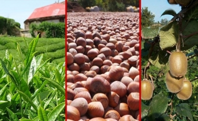 2019'da Yaş Çay Üretimi Azaldı, Fındık Üretimi Arttı