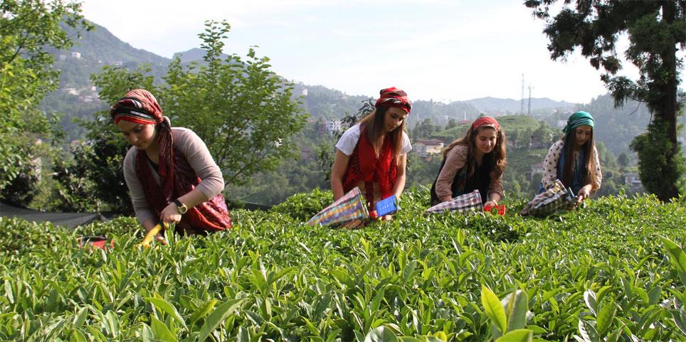 Çay Hasadında 4. Sürgün Başladı