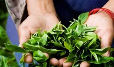 Çay Destekleme Tarihi Belli Oldu
