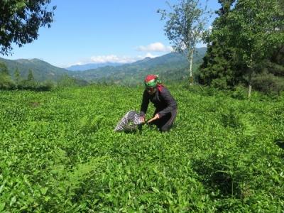 Çay Fiyatı Açıklanıyor Üretici 3 Tl Üzerinde Fiyat Bekliyor
