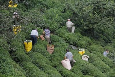 Çay tarımında işgücü maliyeti son 8 yılda 3 kat arttı