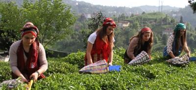 ÇAYKUR, 3. Sürgün Yaş Çay Alımına Başlıyor