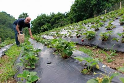 İki üniversite bitirdi organik çilek yetiştiriyor Kaynak: İki üniversite bitirdi organik çilek yetiştiriyor
