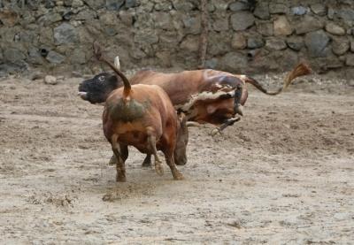 Rize'de Boğalar Kıyasıya Yarıştı
