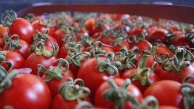 Rusya'nın domates ithalatındaki kısıtlamalarına tepki