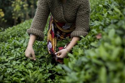 Türk çayı iki ayda 1.6 milyon dolar kazandırdı