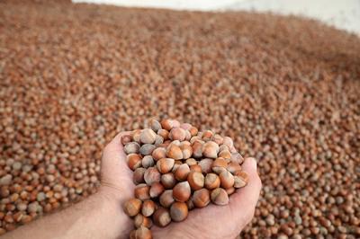 Türkiye iki ayda 66 bin ton fındık ihracat etti