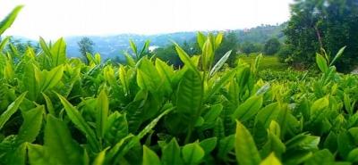 Yaş Çay Destekleme Bedelleri Ödeniyor
