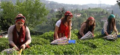 Yaş Çay Destekleme Paraları Hesaplara Aktarılıyor